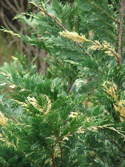 Cupressocyparis Leylandii 80-100 cm