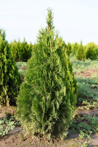 Tuia Smaragd 80-90 cm