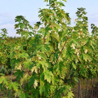 Acer Negundo 250-300 cm