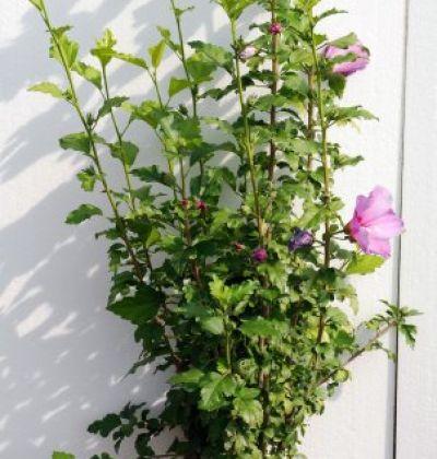 Hibiscus Syriacus 100 cm