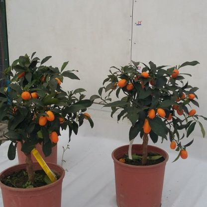 Kumquat bonsai la ghiveci - anul 3 - de vanzare