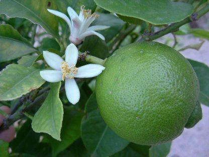 Lime la ghiveci - anul 2 - de vanzare