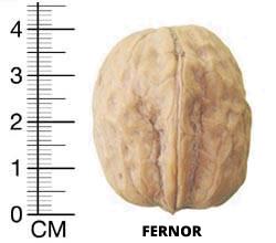 NUC ALTOIT soiul Fernor - anul 2 - de vanzare