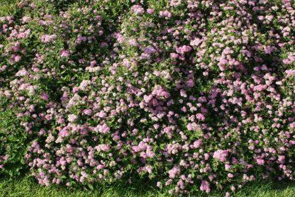 "Vand Spiraea japonica ""Little princess"""