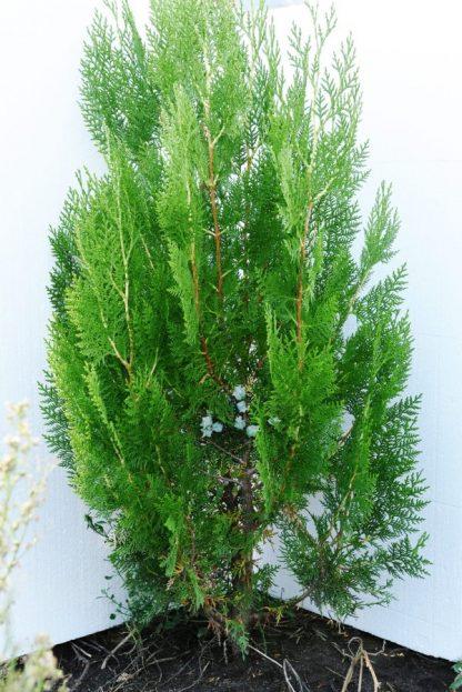 Tuia Orientalis Biota 80-90 cm