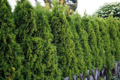 Tuia Smaragd 100-110 cm